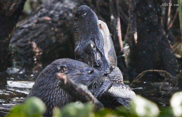 水獭吞食活鳄鱼背后偷袭成功
